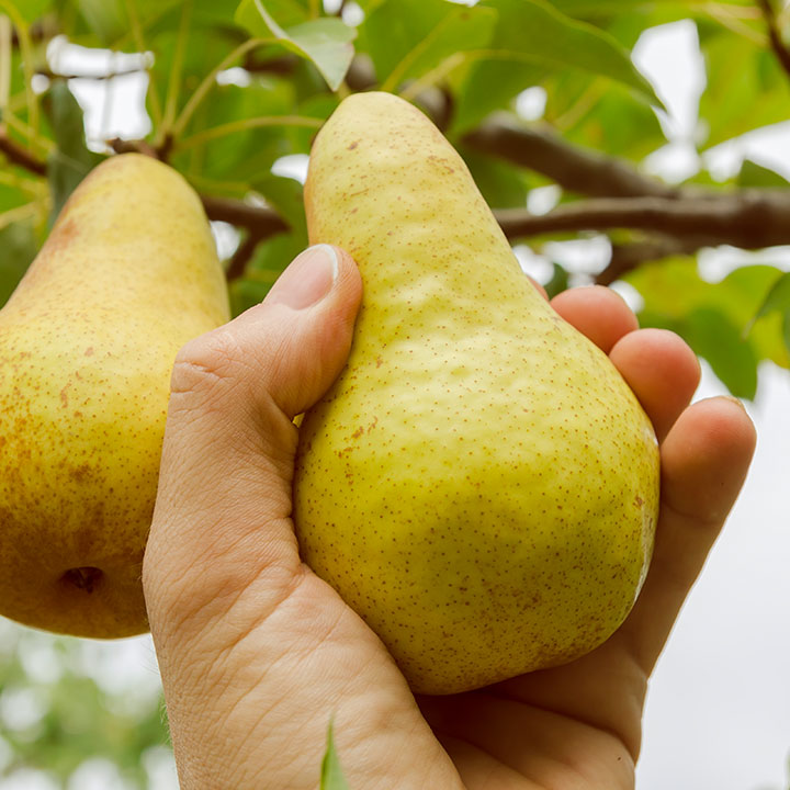 northwest pear crop