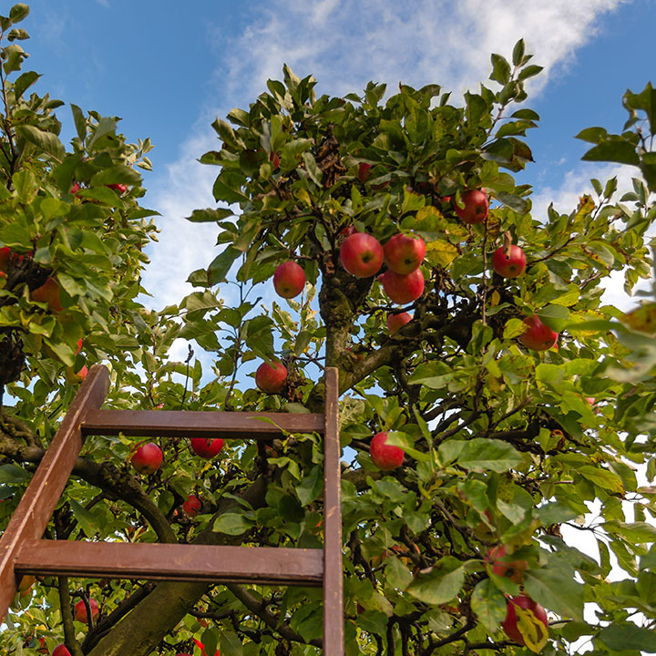 apple crop with apples and ladder