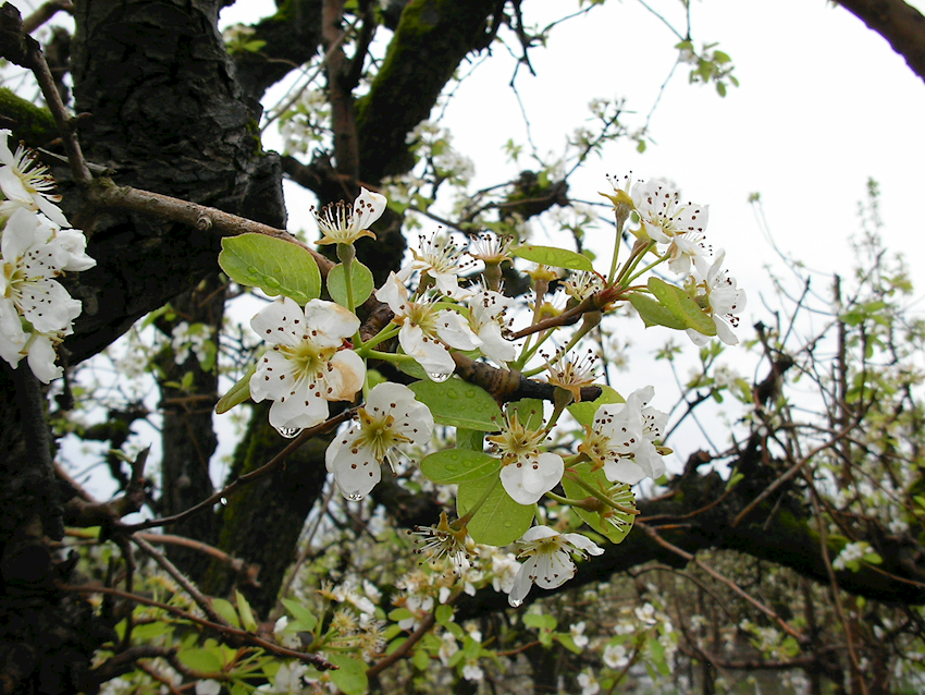 California Pear Bloom 2017