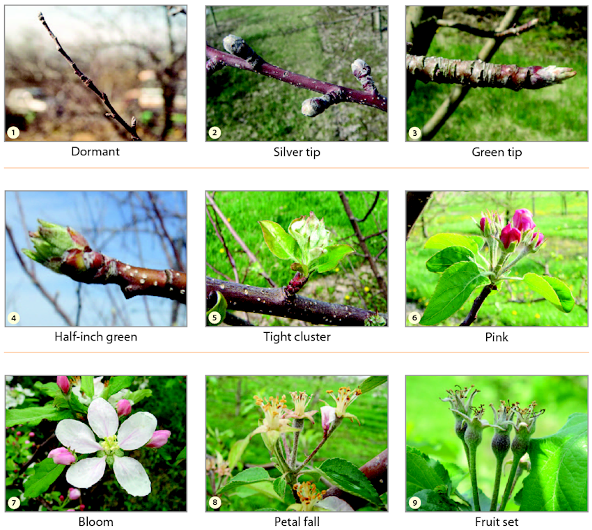 Apple Bloom Cycles and Harvest Predictors