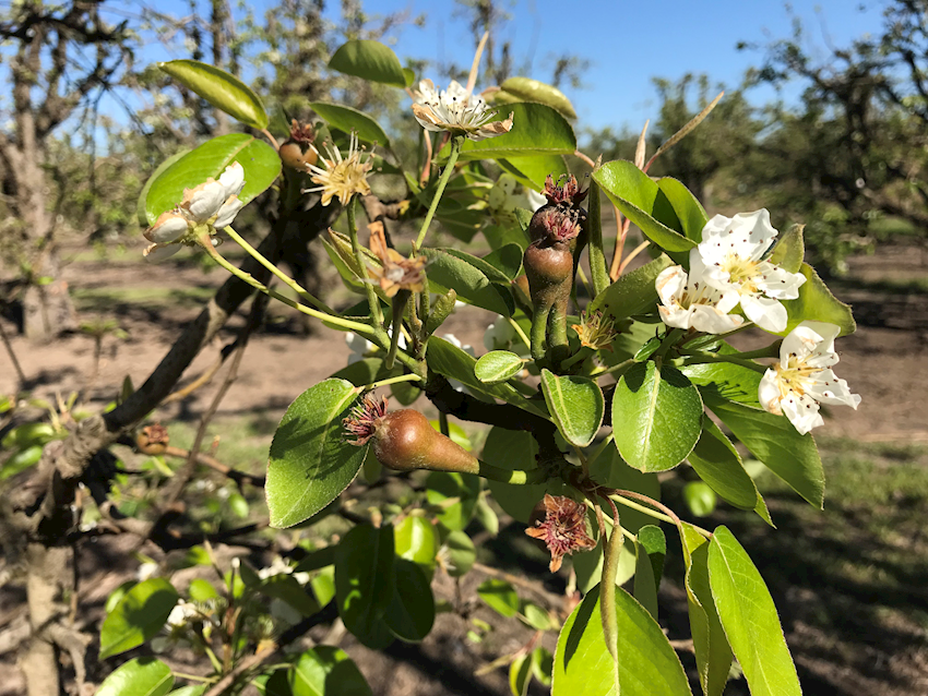 California Pear Bloom 2018